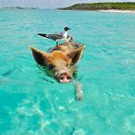 Swimming Pig with bird in Bahamas